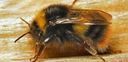 Kamer wil inzage in vertrouwelijke EU-gesprekken bijenrichtsnoer